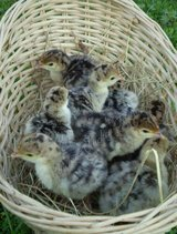 11 wild eastern turkey poults in Leesville, Louisiana