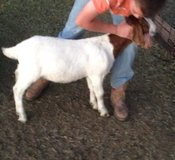 4-H or F.F.A. Goats for sale in Alamogordo, New Mexico