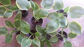 Hosta Green leaf with yellow edges  Perennial in Naperville, Illinois