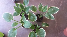 Hosta green with cream edges 3pots available in Naperville, Illinois
