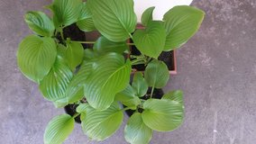 Lime green Hosta with white flowers in Naperville, Illinois