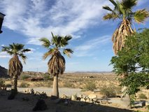 Palm Trees 3 Washingtonia in Yucca Valley, California
