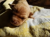 Mixed Chihuahua & 7 puppies in Fort Bliss, Texas