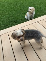 Lost Dog, Yorkie in Houston, Texas