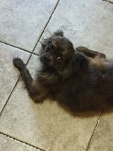 LOST POMERANIAN DOG BRINDLE COLOR in Houston, Texas