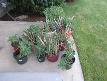 Autumn Joy Sedum Plants Large Shoots and Clumps!! in Oswego, Illinois