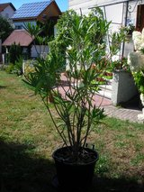 big Oleander plant in big pot (about 6feet) in Baumholder, GE