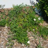 4 Healthy Ground Cover Rose Bushes - White with yellow centers in Hinesville, Georgia
