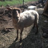 sheep for sale in Alamogordo, New Mexico