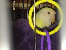 Yellow and White Love bird w/ cage Albino female in Kingwood, Texas