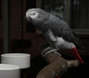 Adorable African grey parrot for sale in Birmingham, Alabama