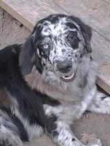 Pair of Catahoula Collies in Conroe, Texas