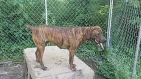 Full blooded mountain cur in Fort Leonard Wood, Missouri