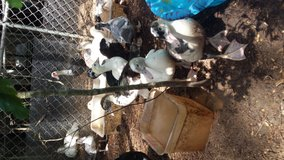 Muscovy juveniles hatched in April in Conroe, Texas