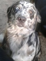 "ICE EYE Catahoula Collie ""Freckles"" in Houston, Texas"