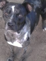 """Momma"" SPAYED Catahoula in Houston, Texas"