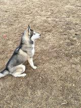 Husky for Adoption in Dyess AFB, Texas
