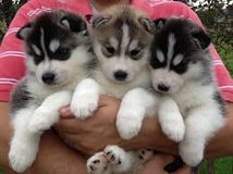 Siberian Husky puppies in Hohenfels, Germany