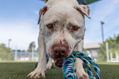 Pitbull in Travis AFB, California
