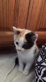 Ferrell kittens ready for new home - Kali in Lawton, Oklahoma