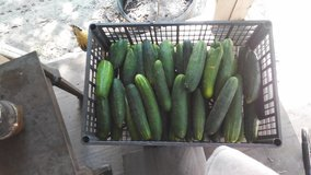 I have40 cucumbers for sale in DeRidder, Louisiana