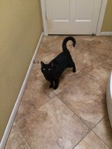 Adult cat to right home in Kingwood, Texas