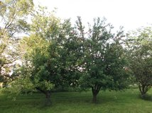 ** WANTED **  Someone to Prune 6 Apple Trees in Morris, Illinois