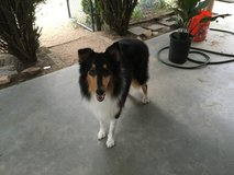 Lost Tri-color Female Collie in 29 Palms, California