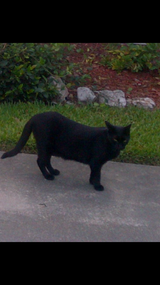 Lost Black Cat in Houston, Texas