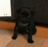 Female pug puppy for adoption in Birmingham, Alabama