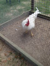 Free Rooster in Warner Robins, Georgia