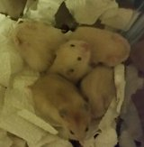 Baby Hamsters in Beaufort, South Carolina