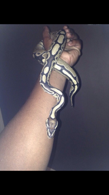 Python snake for sale!!!!!! in Montgomery, Alabama