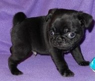 Gorgeous Black Pug Puppies!! Ready Now!! in Birmingham, Alabama