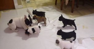 French Bulldog Puppies in Ansbach, Germany