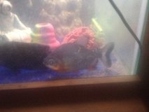 Red belly pacu in Leesville, Louisiana