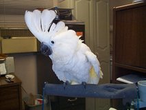 Adorable Cockatoo parrots available in Los Angeles, California