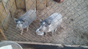 mini potbelly pigs 1 left in Yucca Valley, California