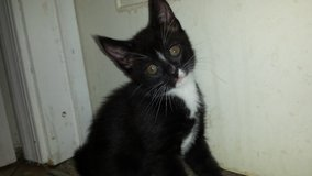 Male kitten for sale in Barstow, California