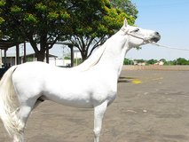 Gorgeous Arabian Gelding For A New Home in Los Angeles, California