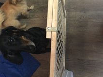 2 Loving dogs looking for a Home in San Antonio, Texas
