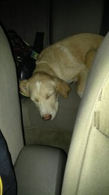Poor sweet baby lab in DeRidder, Louisiana