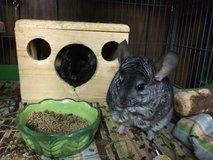 Pair of Female Chinchillas Looking for Home - Electra & Cinder in Chicago, Illinois