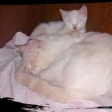 Red Point Siamese in Belleville, Illinois
