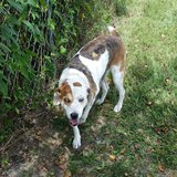 Catahoula Mix Free to Good Home in Kingwood, Texas