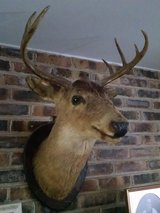 Deer Head in Batavia, Illinois