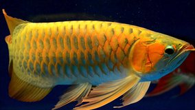 Premium Quality Arowana Fish Available (980) 533-5974 in Philadelphia, Pennsylvania