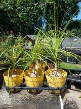 PONYTAIL PALM TREES-FOR SALE in Aurora, Illinois