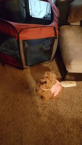 Toy poodle in Moody AFB, Georgia