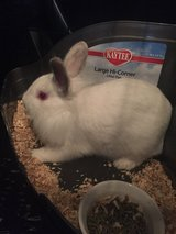 Lion head rabbit, cage, bedding, food, water bottle, and treats in Lexington, Kentucky